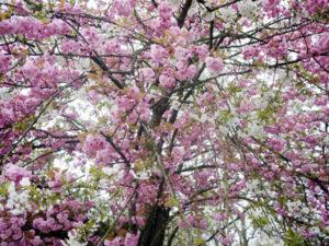 ベルギーの八重桜