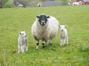 ファームウォークで出会った羊